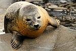 Seal - Gweek Seal Sanctuary (16549381719).jpg