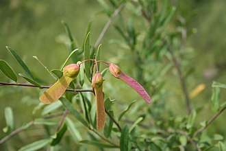 Polygalaceae - Securidaca longipedunculata
