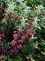 Sedum Purple Emperor ^ Phlomis crinita - Flickr - peganum.jpg