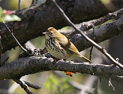 meaning of ovenbird