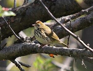 "Ovenbird - Adult with raised ""crest""; Léon-Provancher marsh, Québec (Canada)"