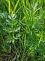 SelinumDubium Leaves.jpg