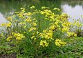 Senecio madagascariensis plant8 (16142573502).jpg