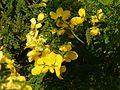 Senna polyphylla (3053212000).jpg