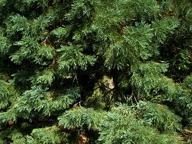 Sequoiadendron giganteum Marburg 006.jpg