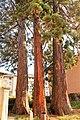 Sequoie secolari (particolare).jpg
