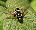 Sericomyia silentis (male) - Flickr - S. Rae (1).jpg