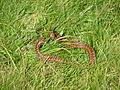 Serpent à la montagne.JPG