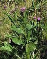 Serratula tinctortia ssp. macrocephala PID1985-2.jpg