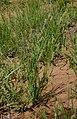 Setaria apiculata.jpg