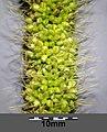 Setaria italica subsp. italica sl34.jpg