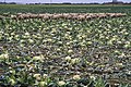 Sheep in the cauliflower field (6479062669).jpg