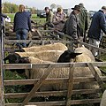 Sheep sale at Wombleton Airfield - geograph.org.uk - 1551815.jpg