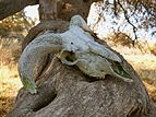 Sheep skull on olive tree.jpg