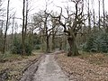 Sherwood Forest - Blackpool Plantation to the Right - geograph.org.uk - 729990.jpg