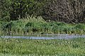 Short-billed Dowitchers with Lesser Yellowlegs, Caledonia Sewage Ponds, May 11, 2012 (7172049892).jpg