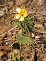 Shrubby Indian Mallow - Flickr - treegrow (3).jpg