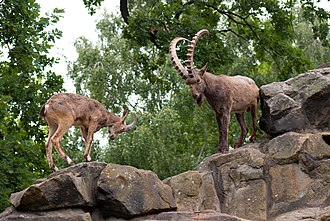 Capra (genus) - Female and male Siberian ibex at the Berlin Zoological Garden