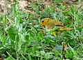 Sicalis flaveola (Canario coronado) - Flickr - Alejandro Bayer (14).jpg