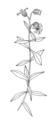 Silene cucubalus ellywa.png