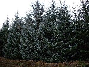 Abakan Range - Silver fir