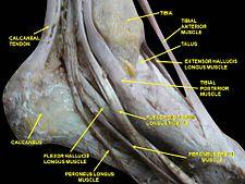 Canalis malleolaris