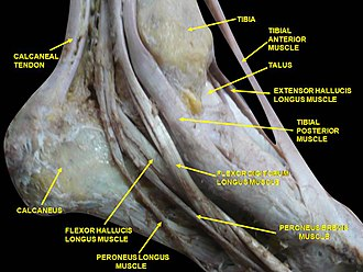 Tibialis anterior muscle - Image: Slide 2cece