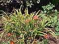 Small Flowered Red Daylily - 9327863171.jpg