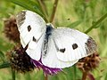 Small White (Pieris rapae) ♀ (9621178877).jpg