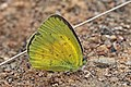 Small grass yellow (Eurema brigitta pulchella).jpg
