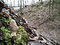 Smardz stożkowaty (Morchella conica) 3.jpg