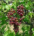 Smilax grapes - Flickr - gailhampshire.jpg