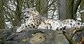Snow Leopard At Marwell (27800949627).jpg