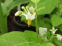 Solanum aethiopicum2
