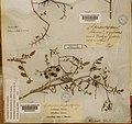 Solanum cheesmaniae herbarium sheet Charles Darwin Chatham Island Galapagos Sept 1835.jpg
