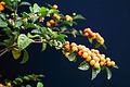 Solanum diphyllum - USDA ARS 3.jpg