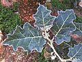 Solanum marginatum, blare, b, Manie van der Schijff BT.jpg
