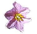 Solanum melongena flower on white background.jpg