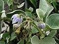Solanum nelsonii (5311708628).jpg