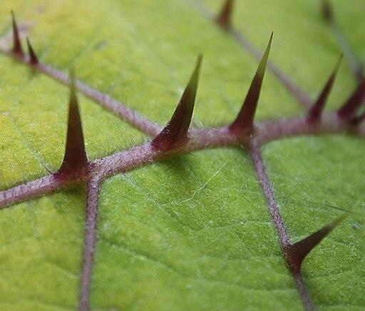 Solanum quitoense0143