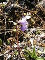 Soldanella alpina002.jpg