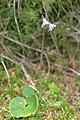 Soldanella alpina (8337813378).jpg