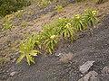Sonchus canariensis (San Antonio) 02.jpg