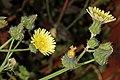 Sonchus oleraceus 5Dsr 3648-01.jpg