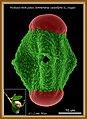 Soneratia caseolaris (L.) Engler--3000X--scale=10um.jpg