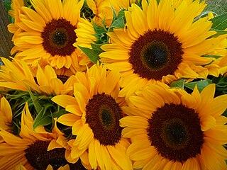 Slnečnice - vyššie semenné rastliny