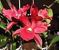 Sophrolaeliocattleya Tutankamen Pop -香港沙田洋蘭展 Shatin Orchid Show, Hong Kong- (9207602918).jpg