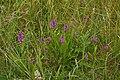 Southern Marsh Orchid (Dactylorhiza praetermissa) - geograph.org.uk - 1384878.jpg
