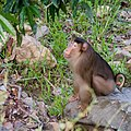 Southern Pig-tailed Macaque (14840071577).jpg