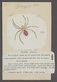 Sparassus - Print - Iconographia Zoologica - Special Collections University of Amsterdam - UBAINV0274 068 09 0025.tif